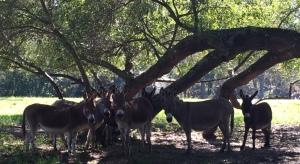 Miniature Donkeys